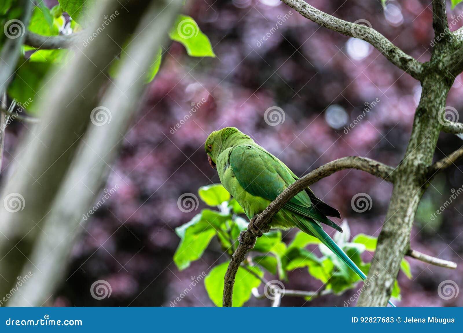 Camouflaged parakeet umieszczający na gałązce