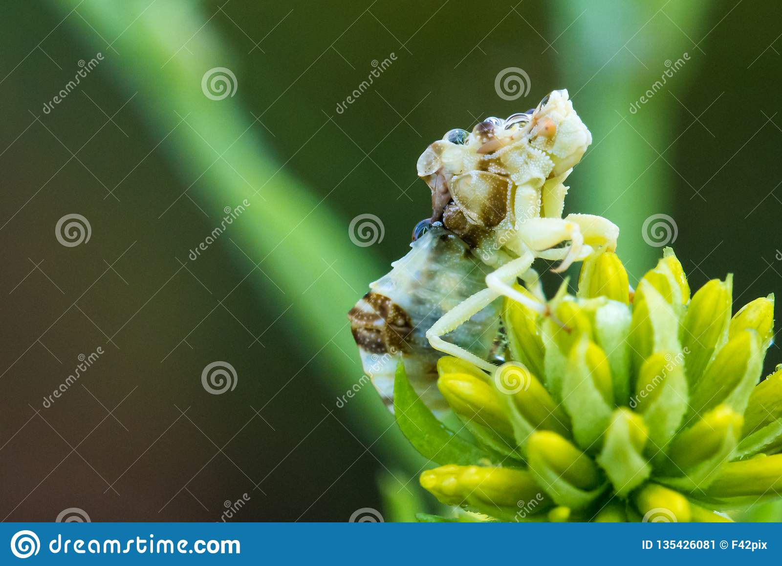 Camouflageinsect op Gele Bloem