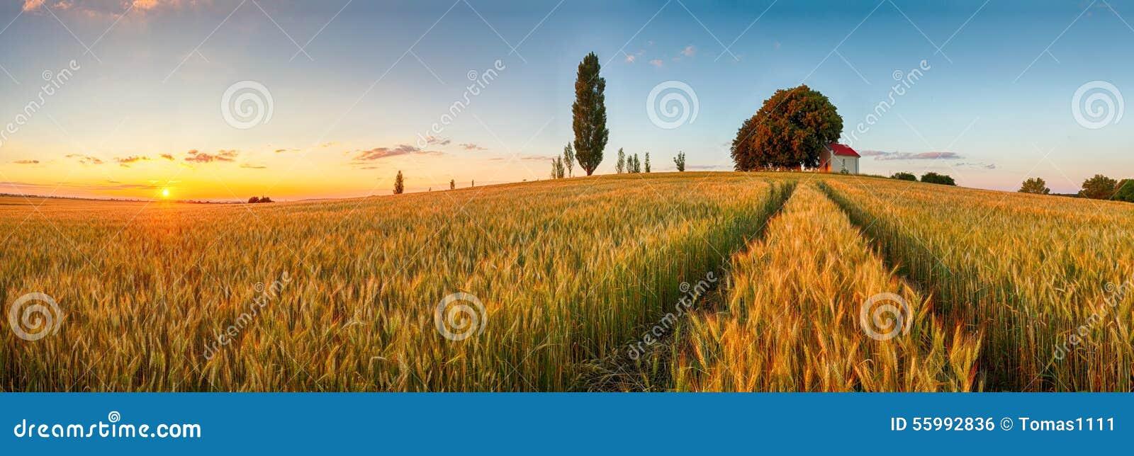 Campagna di panorama del giacimento di grano di estate, agricoltura
