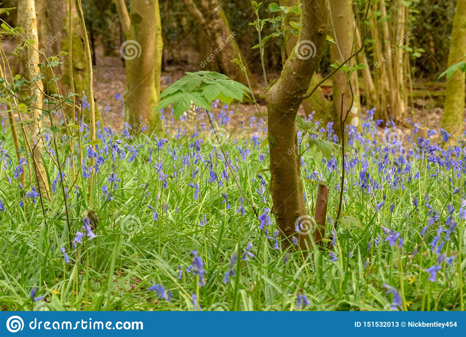 Campainhas nas madeiras, terra comum de Henfield