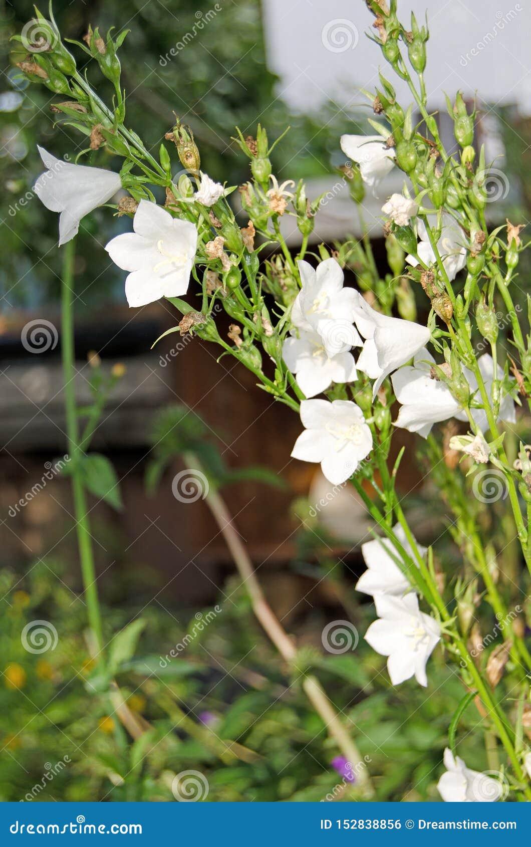 Campanas del jard?n Flores hermosas en el jard?n