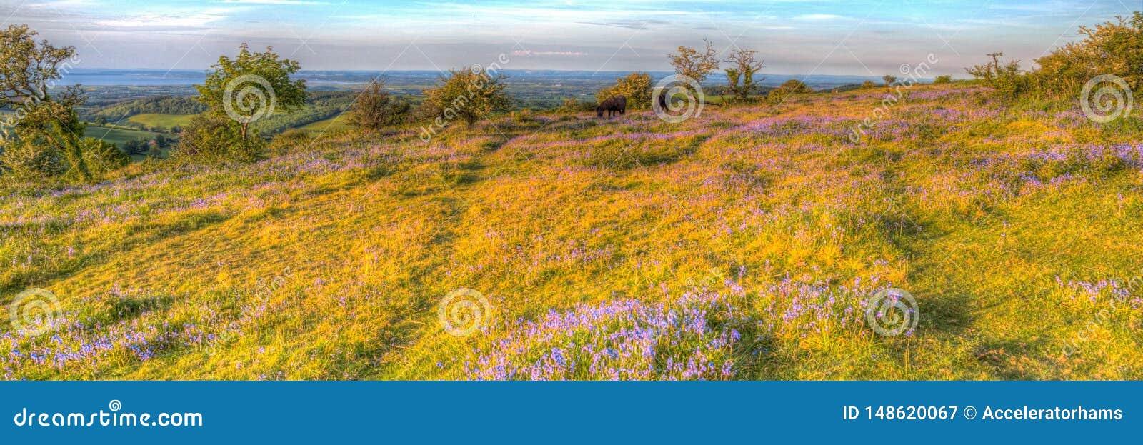 Campanillas de Somerset de las colinas de Quantock y potros salvajes en una tarde del verano en HDR colorido