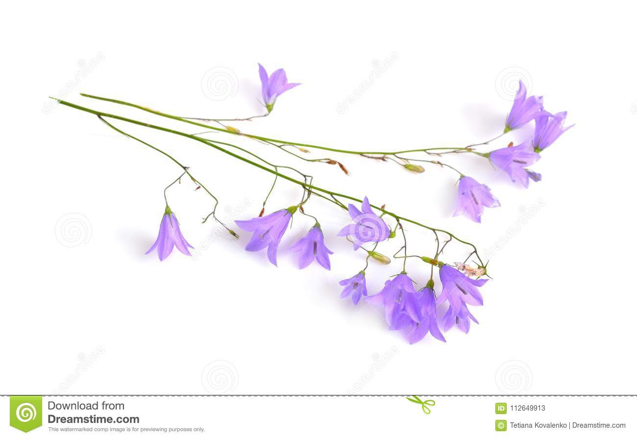 Campanula bellflower bell shaped flowers or stock image image of campanula bellflower bell shaped flowers or little bell isolated on white mightylinksfo