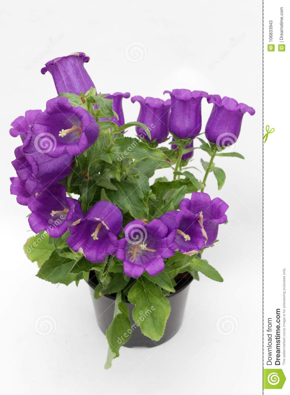 Campanula Blooming Violet Bellflowers Isolated On White Background