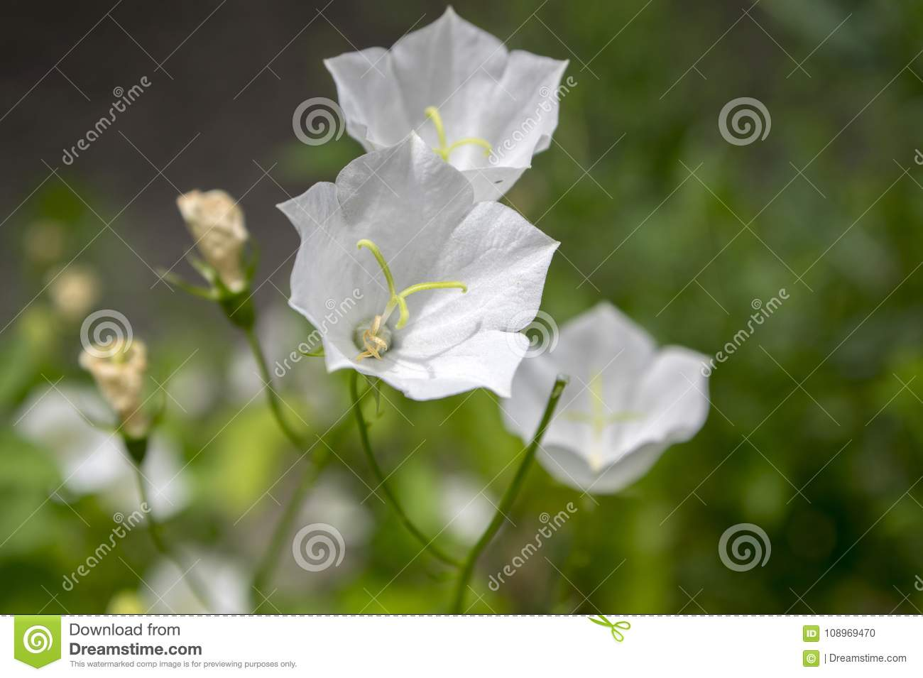 Campanula Carpatica Small White Bell Flowers In Bloom Stock Photo
