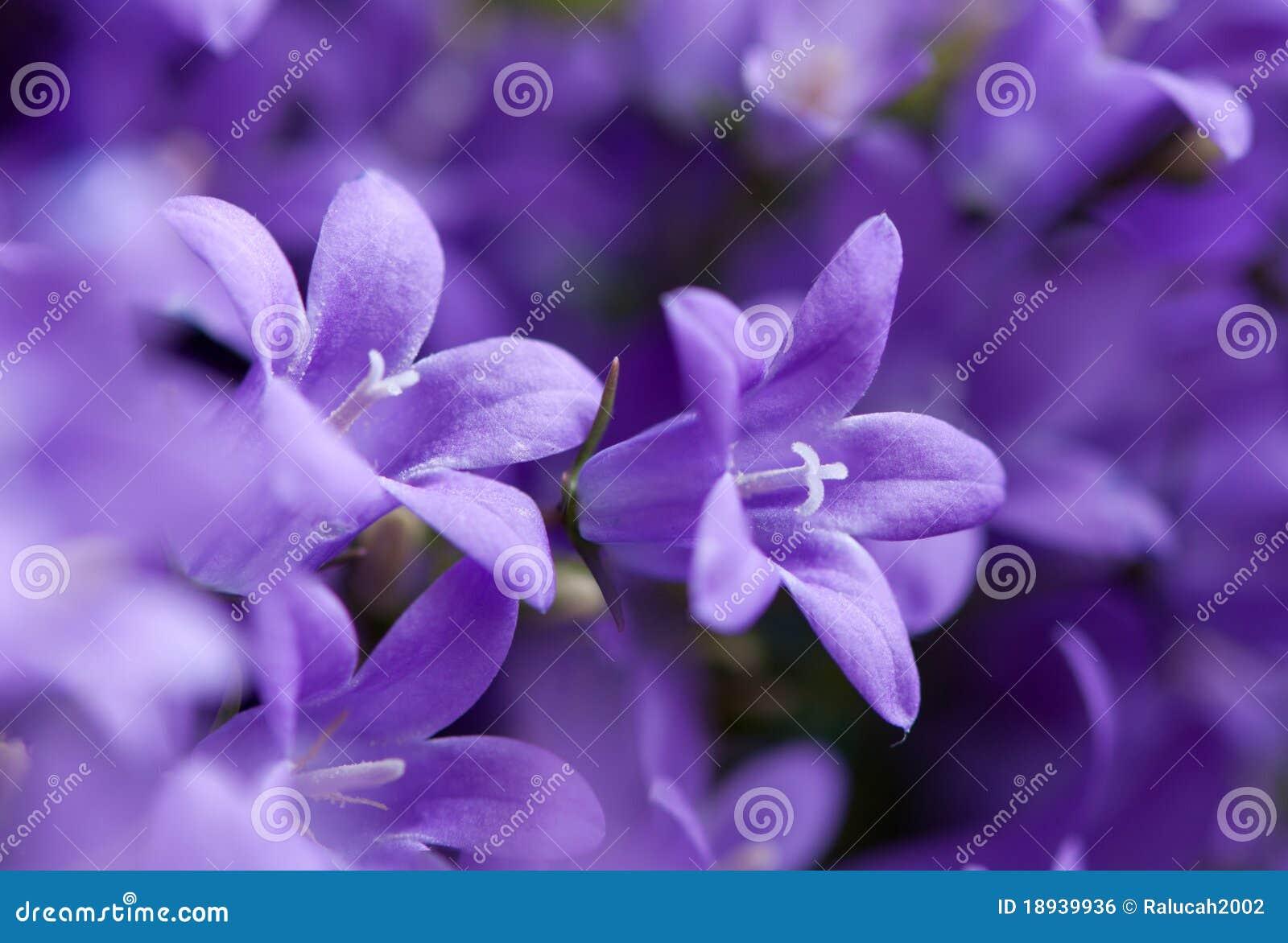 Campanula mauve violet