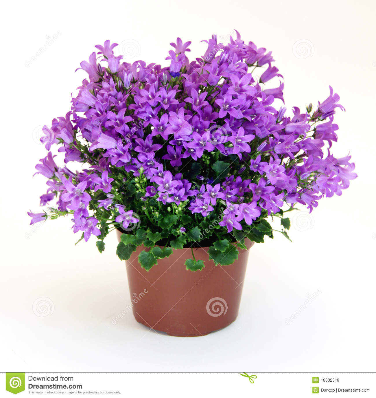 Pianta Fiori Viola.Campanula Plant Stock Photo Image Of Time Horticulture 18632318