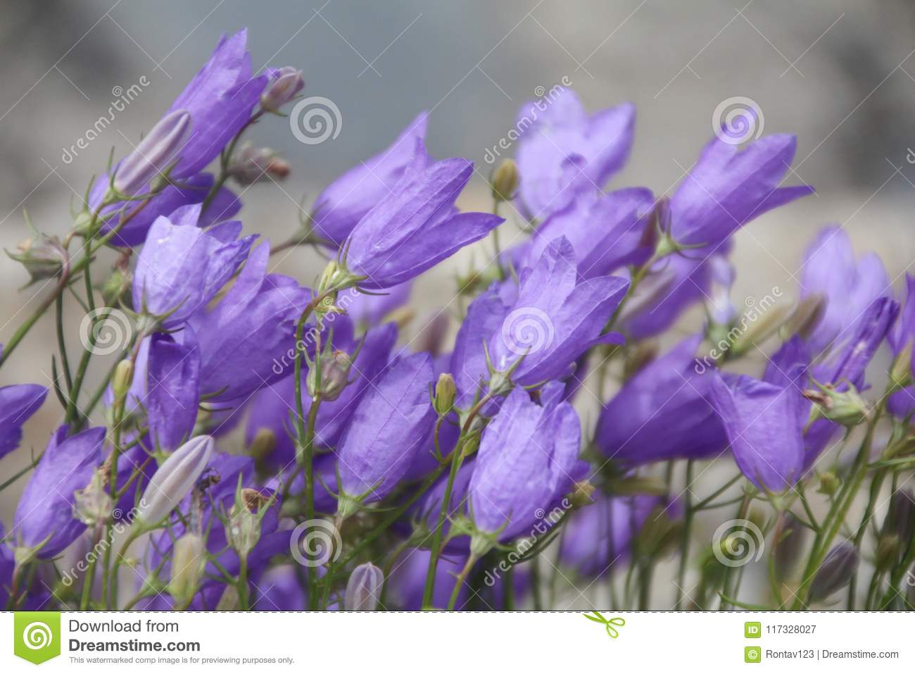 Close Up View Of Campanula Purple Bell Flowers Stock Image Image