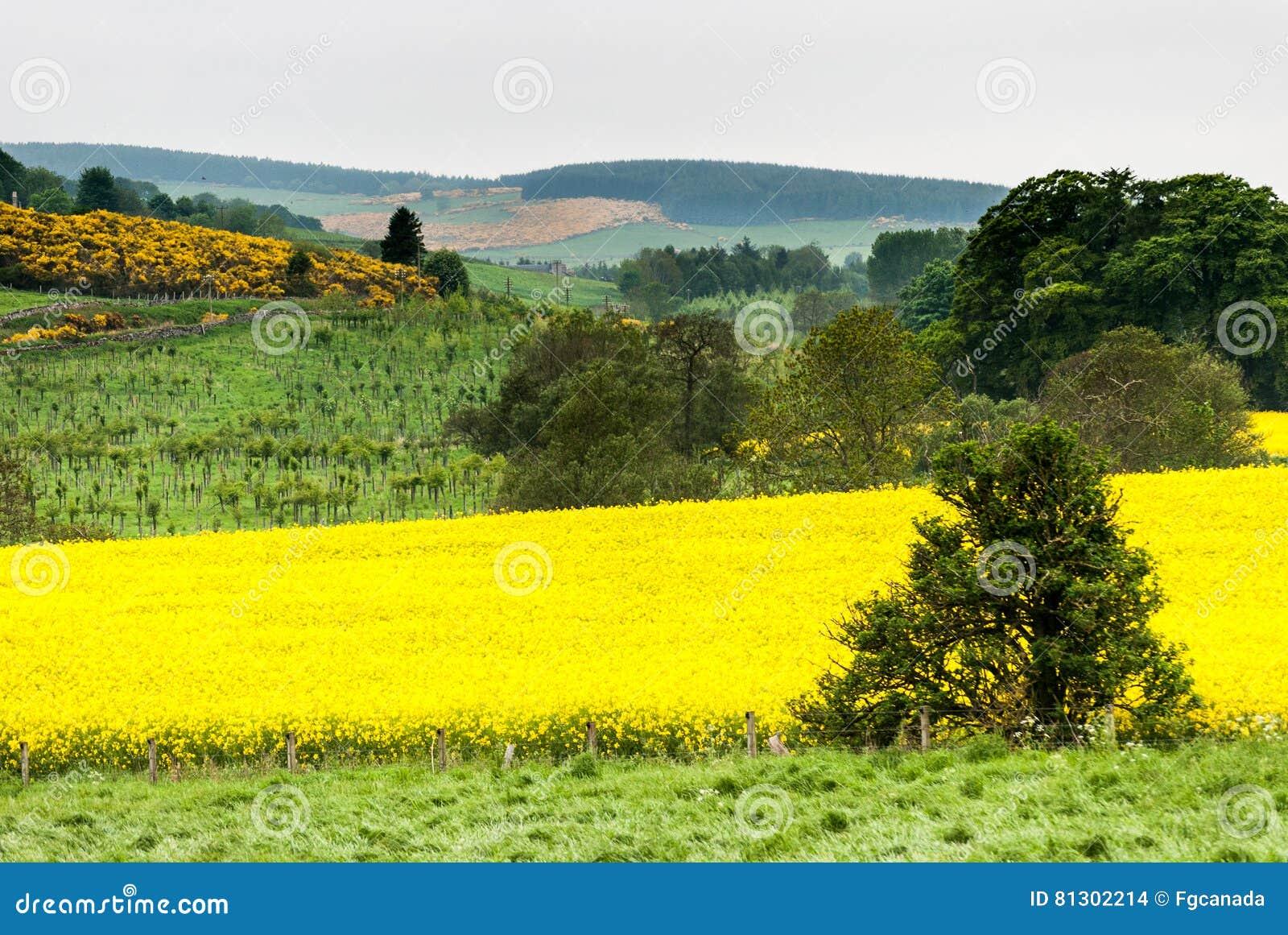 Fiori Gialli Scozia.Campi Gialli Della Scozia Fotografia Stock Immagine Di Europeo