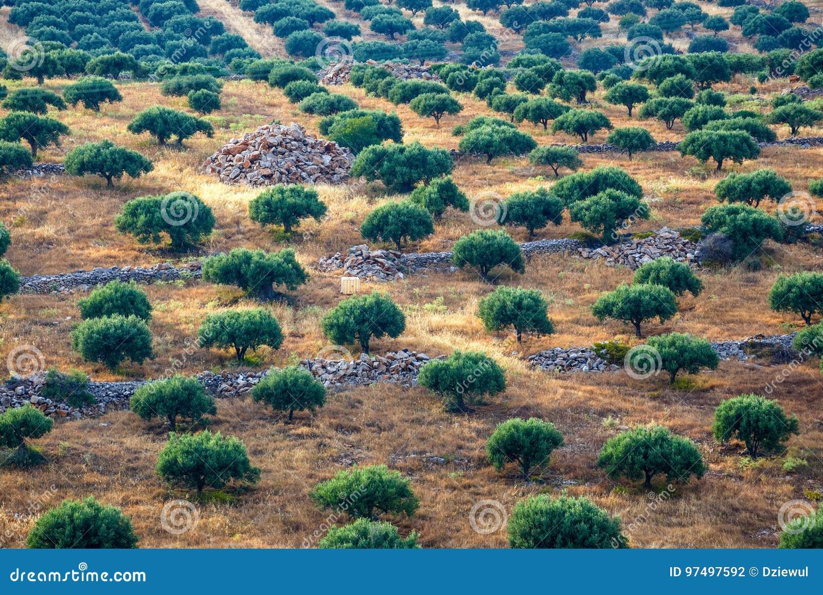 Campi verde oliva sull isola di Creta in Grecia