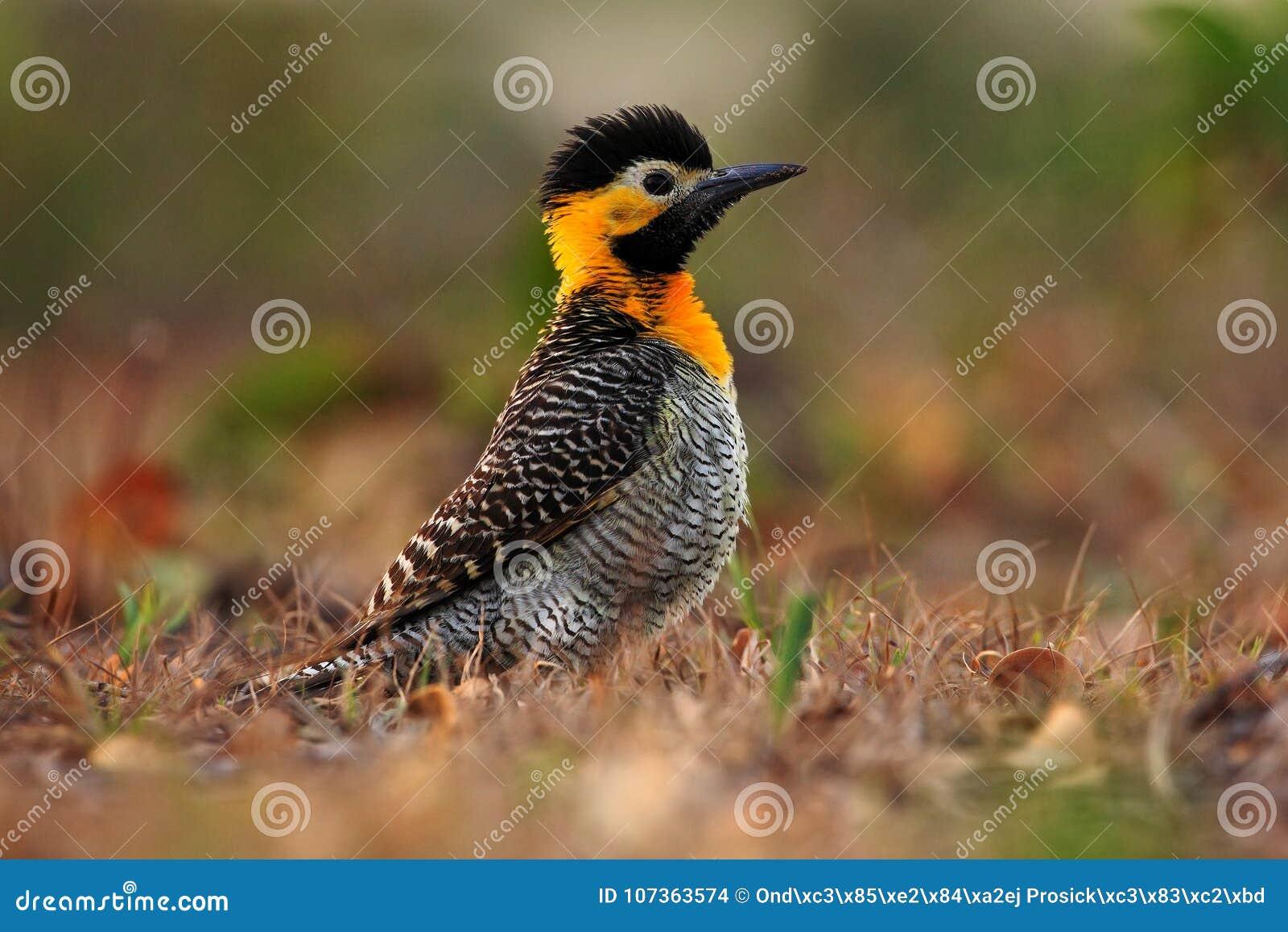 Campo τρεμούλιασμα, campestris Colaptes, εξωτικός δρυοκολάπτης στο βιότοπο φύσης, συνεδρίαση πουλιών στο κίτρινου και μαύρου κεφά