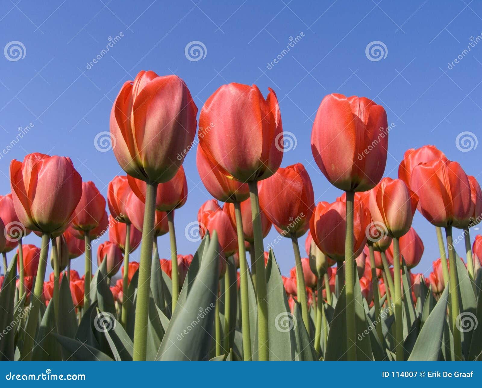 Campo 5 del tulipán