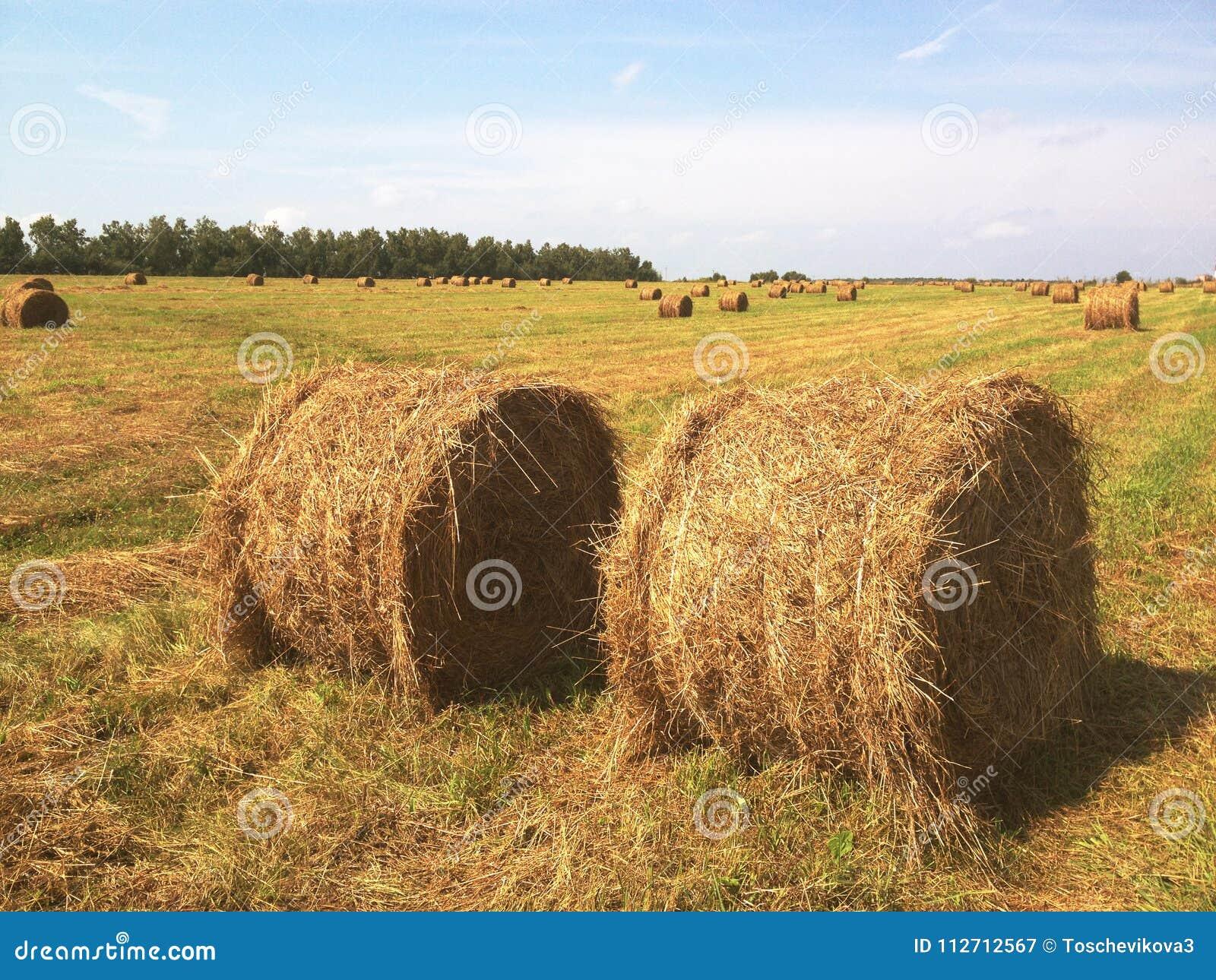 Campo agrícola Balas redondas de heno secado en el campo contra el cielo azul