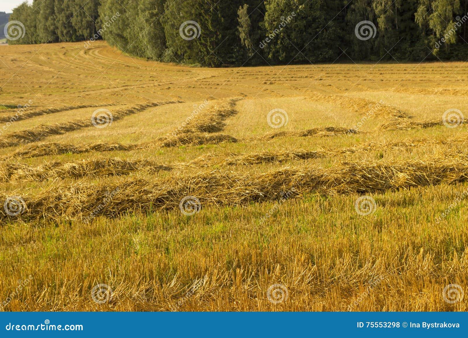 Campo agrícola com trigo chanfrado