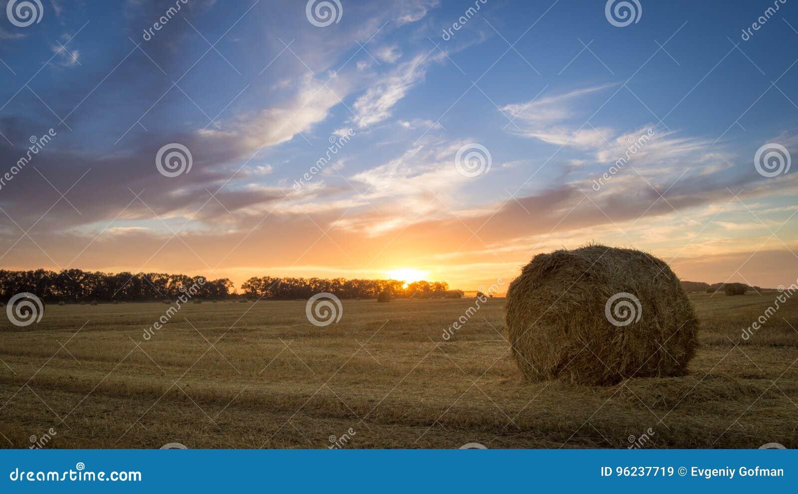 Campo agricultural Pacotes do feno para alimentar o gado no inverno