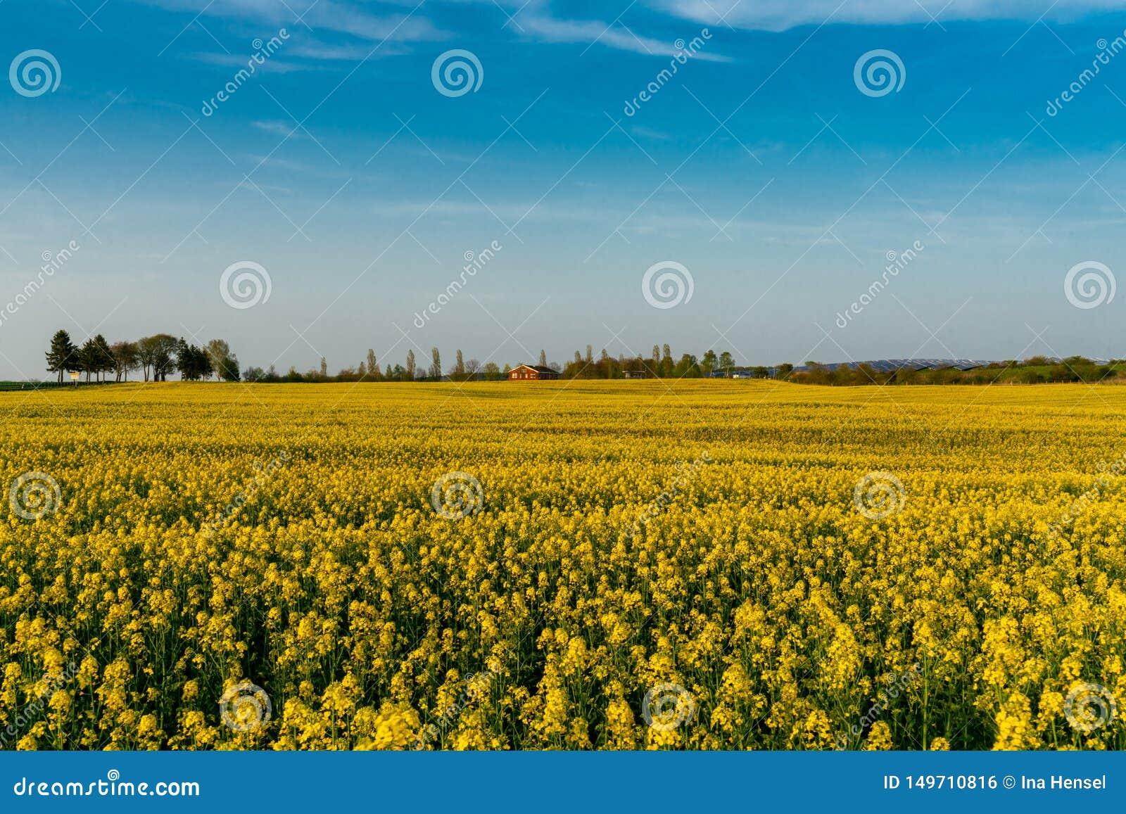 Campo amarelo do canola no usedom