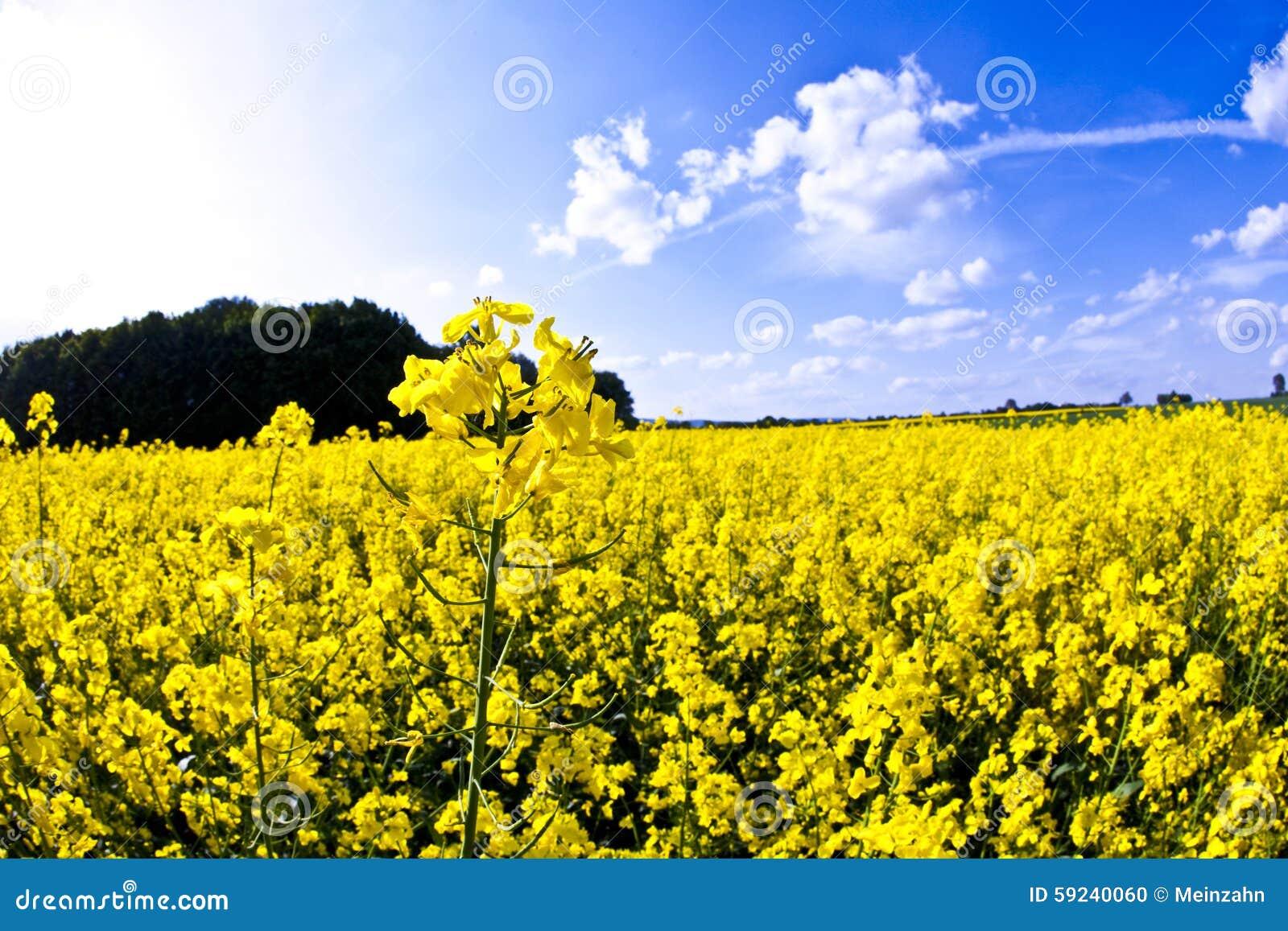 Campo amarillo de la violación en resorte