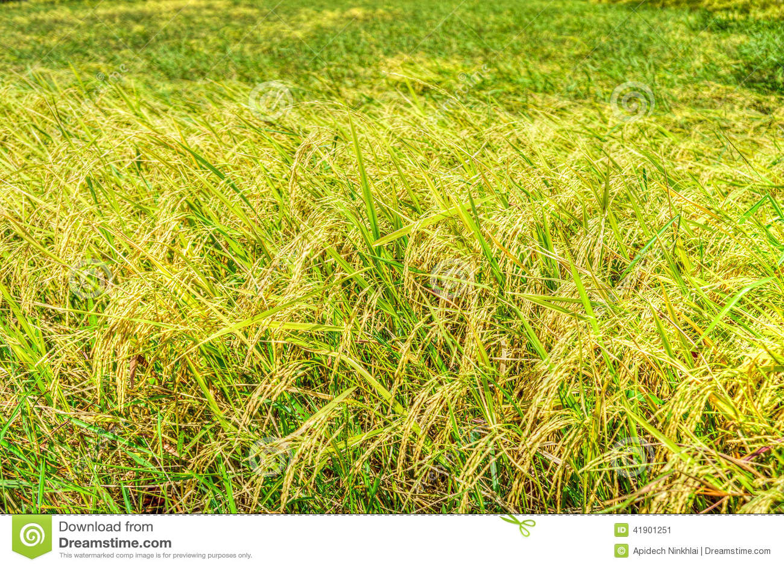 Campo amarillo del arroz