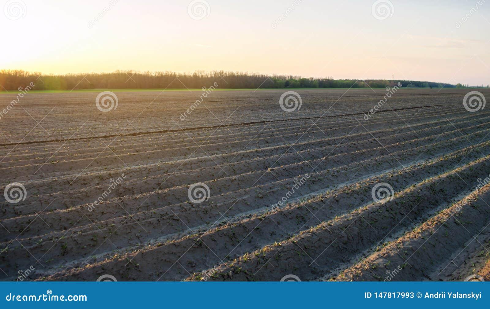 Campo arado ap?s o cultivo para plantar colheitas agr?colas Paisagem com terra agr?cola camas para plantas Agricultura,