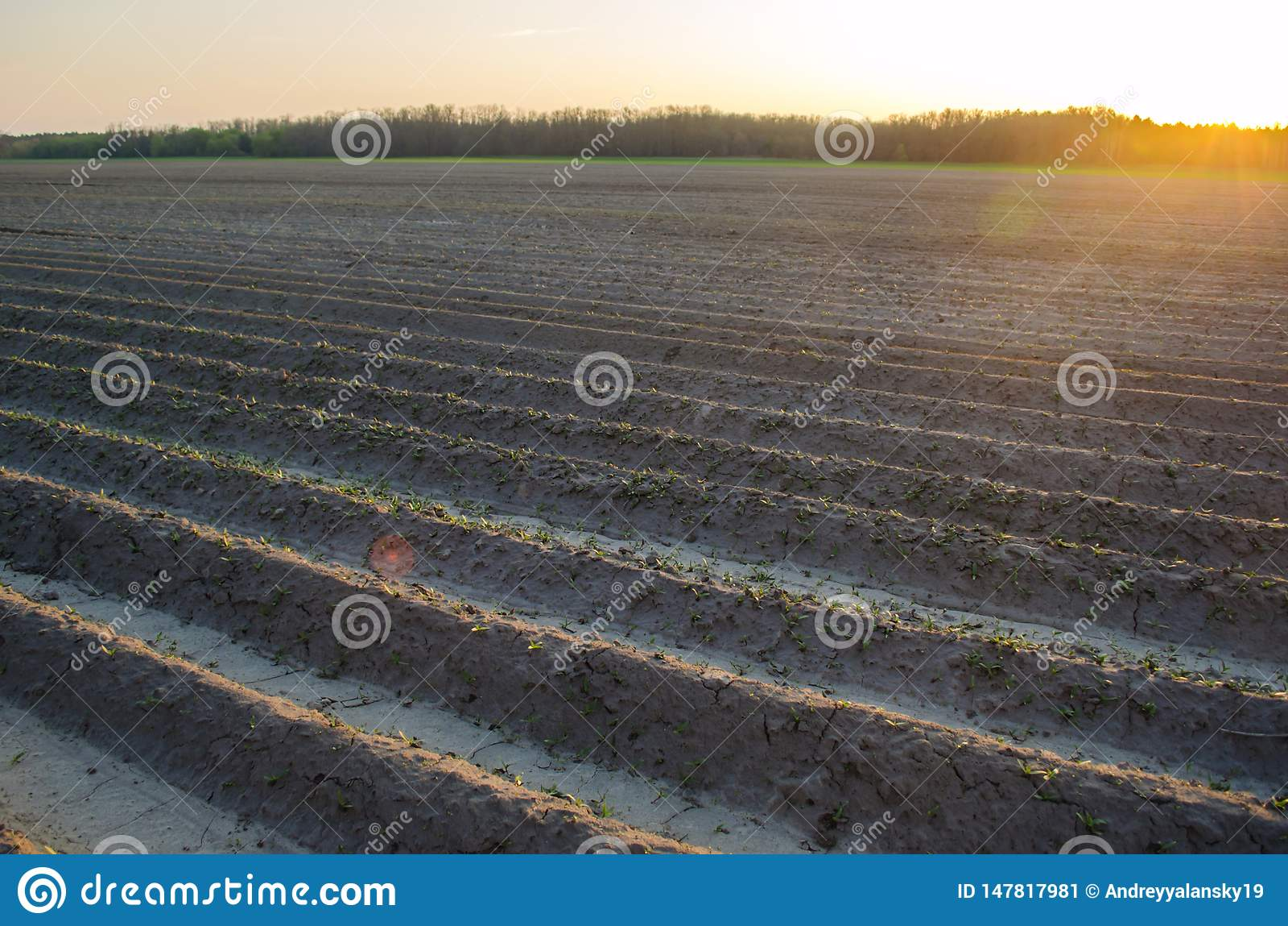 Campo arado despu?s del cultivo para plantar cosechas agr?colas Paisaje con la regi?n agr?cola camas para las plantas Agricultura