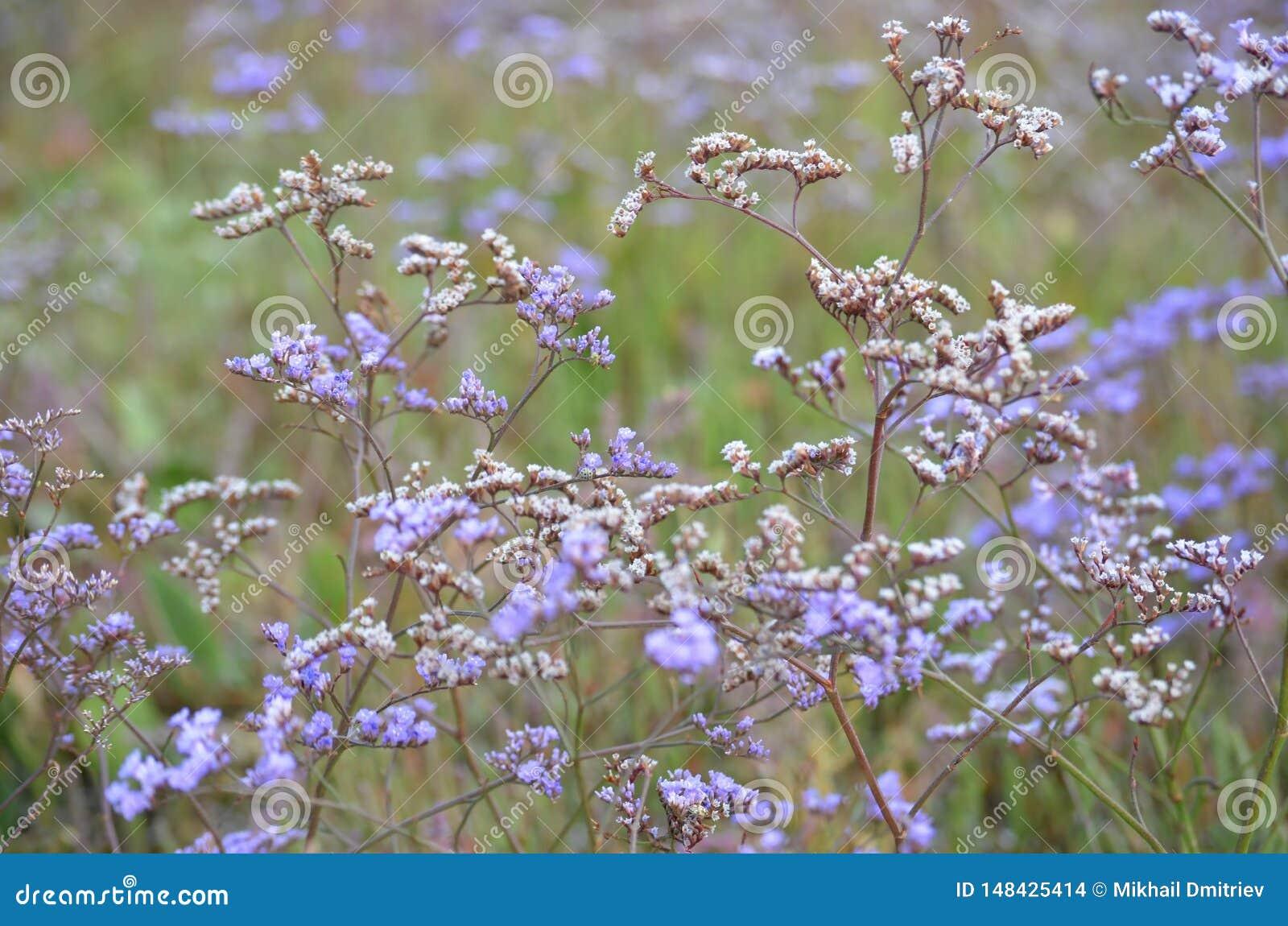 Campo bonito da flor roxa Vervain Bonariensis ou Purpletop Vervain sob um céu brilhante