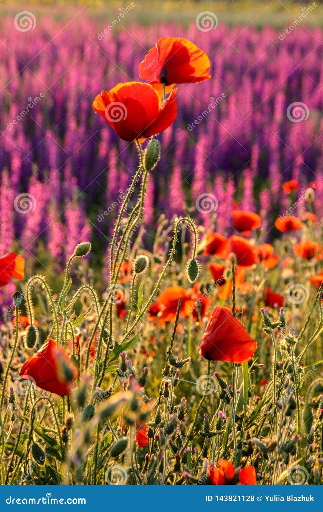 Campo colorido del verano escénico de amapolas