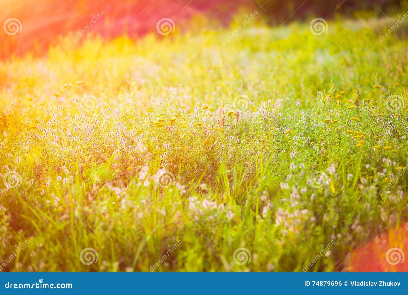 Campo com flores selvagens