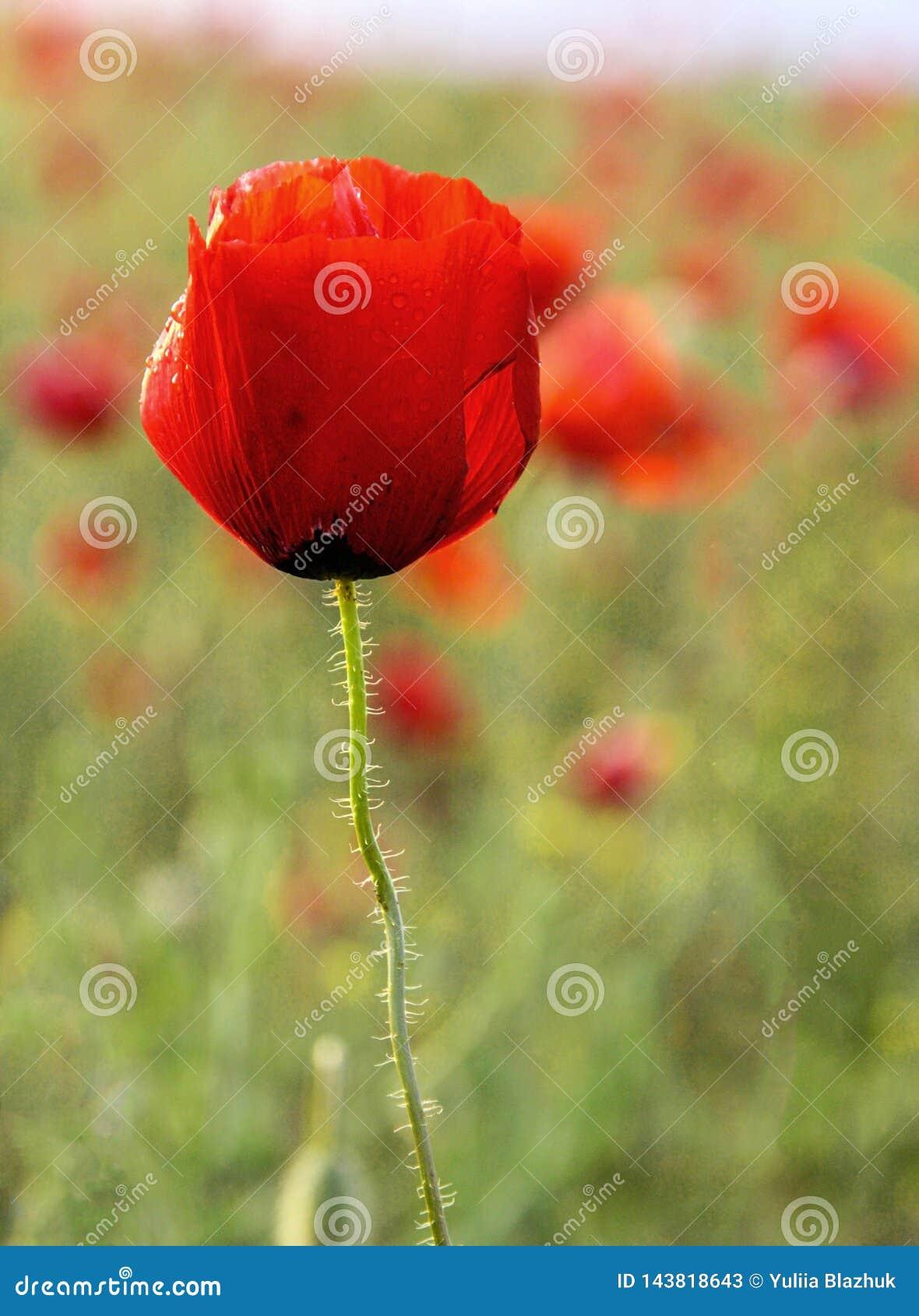 Campo com a uma flor da papoila no verão