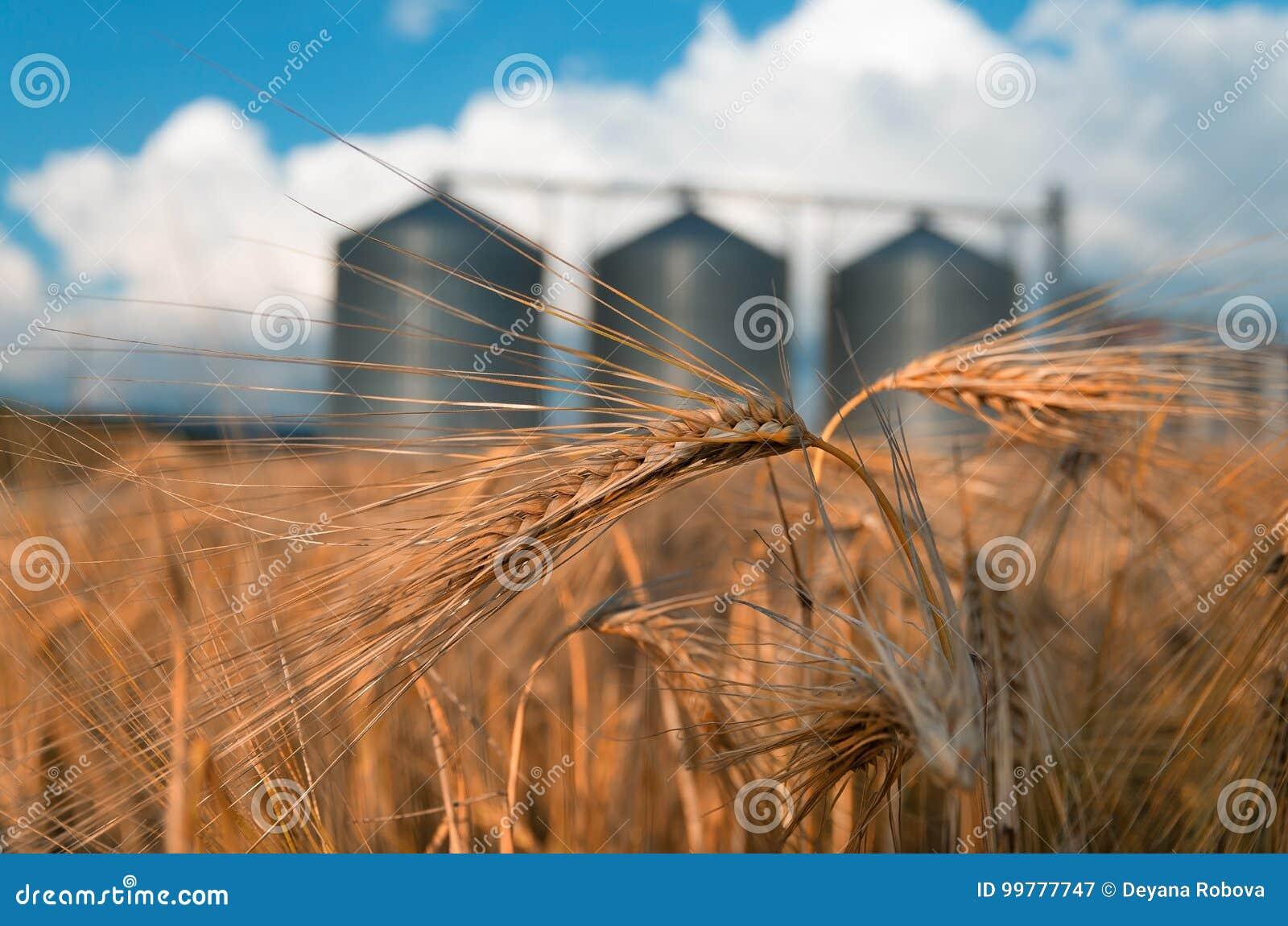 Campo con il silos di grano per agricoltura