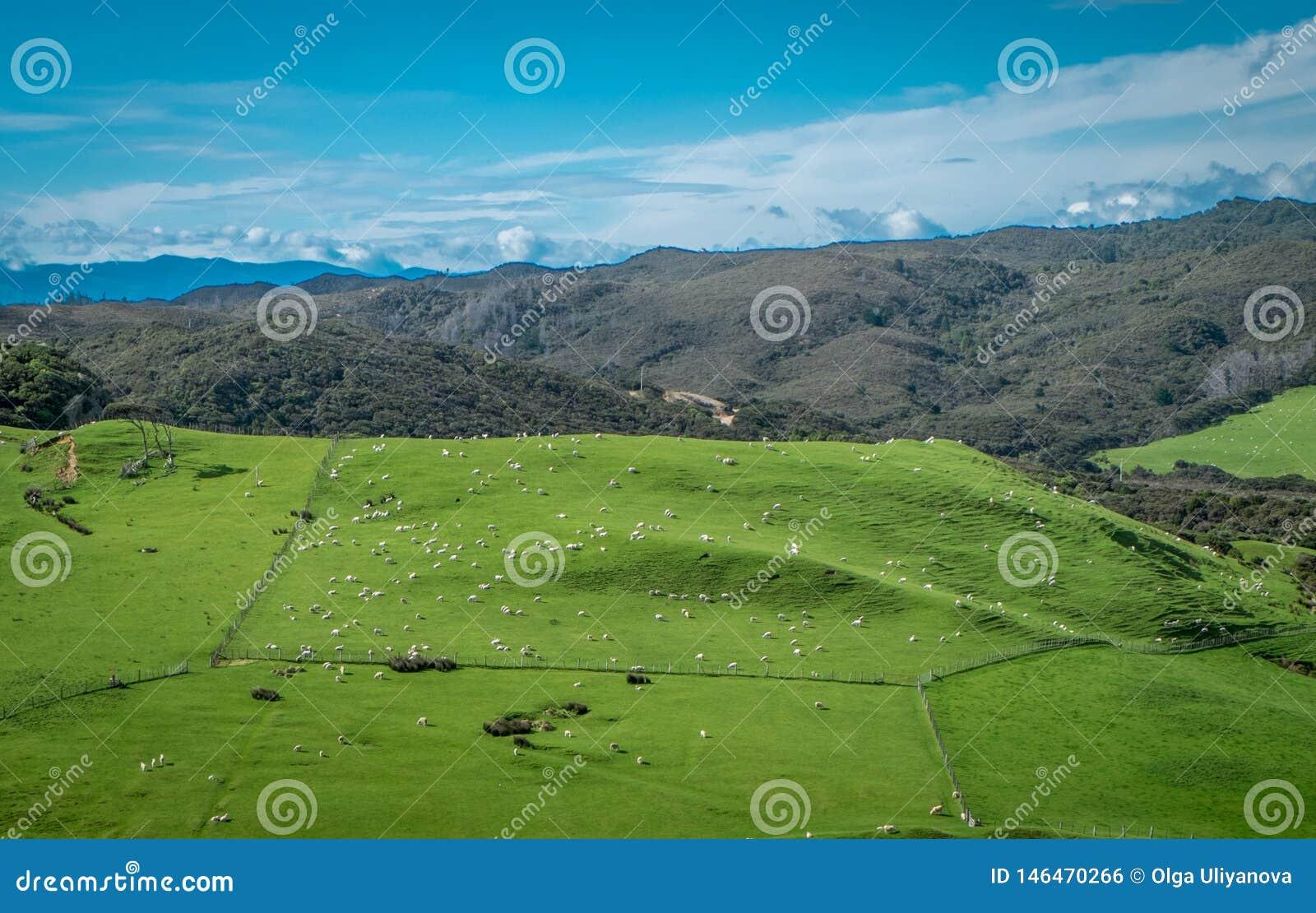 Campo con le pecore Paesaggio con le colline e le montagne Area del Nelson, Nuova Zelanda