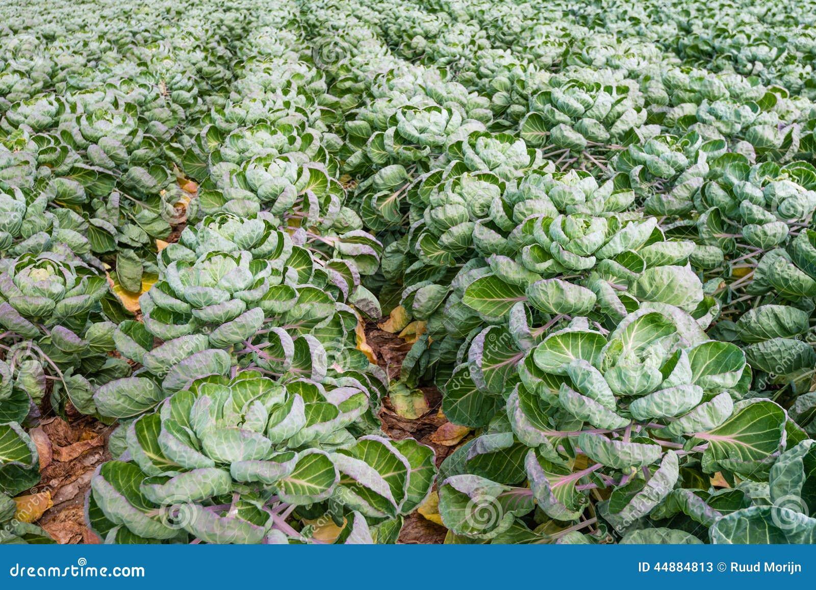 Pianta Cavolini Di Bruxelles campo con le piante dei cavoletti di bruxelles dalla fine