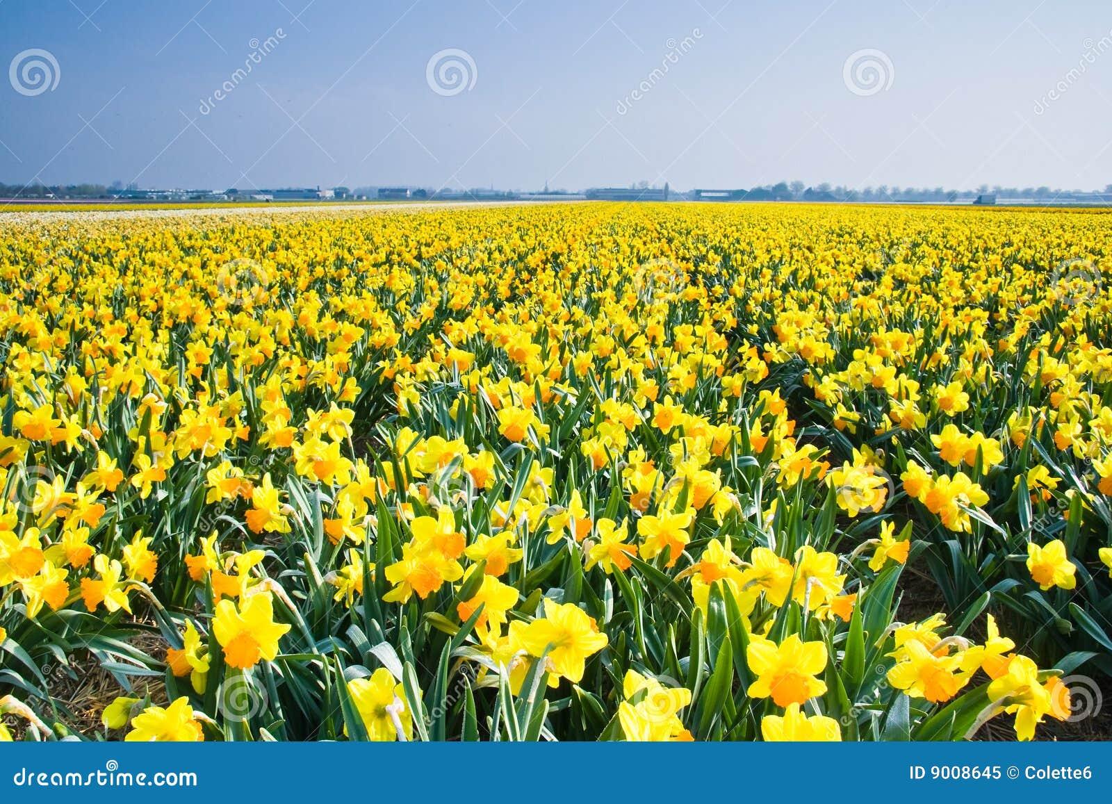 Campo Con Los Narcisos Amarillos En Abril Imagen De Archivo Imagen - Narcisos-amarillos
