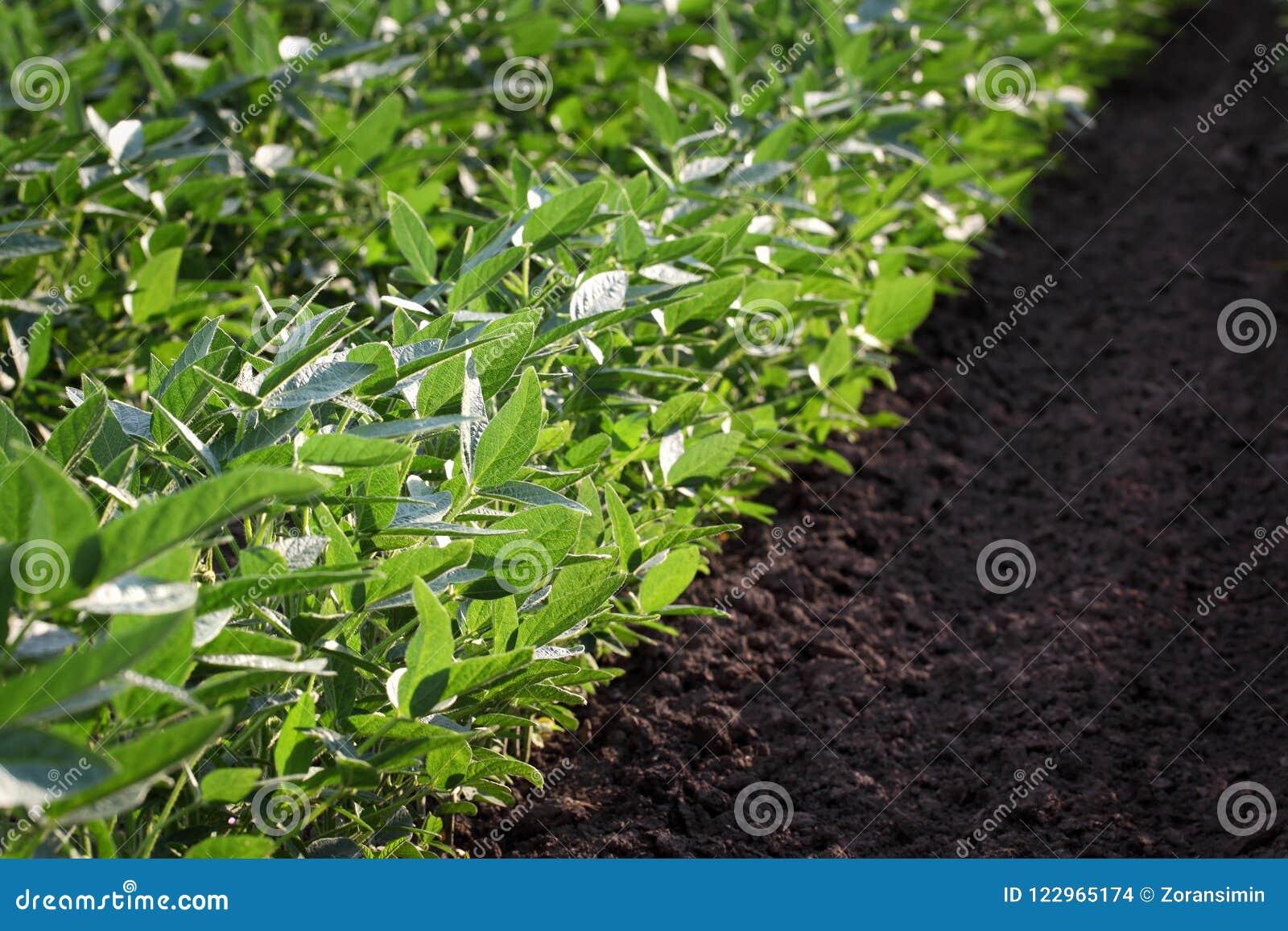 Campo cultivado verde de la soja en última primavera