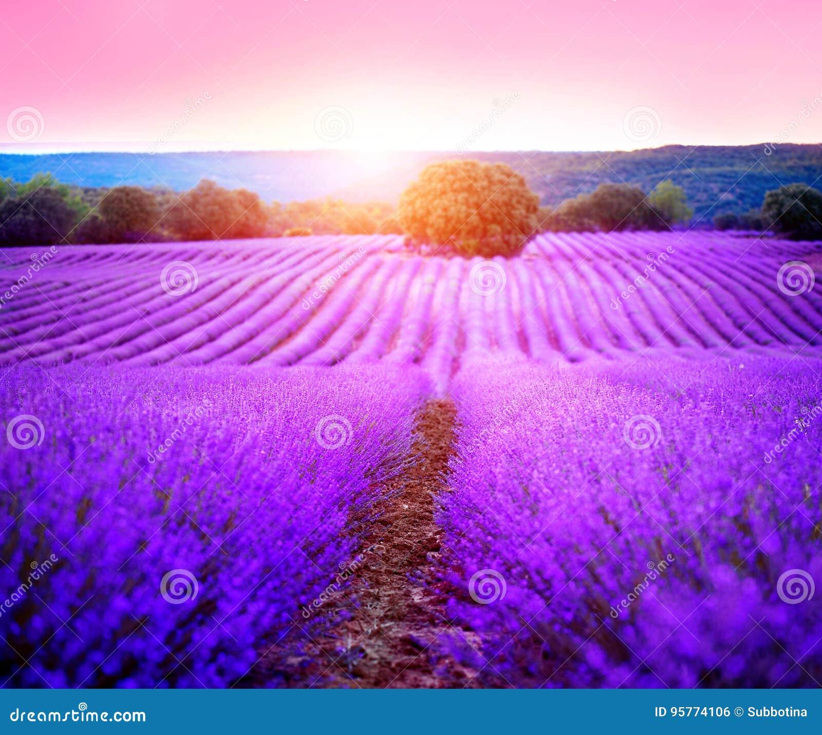Campo da alfazema em Provence, France Alfazema de florescência