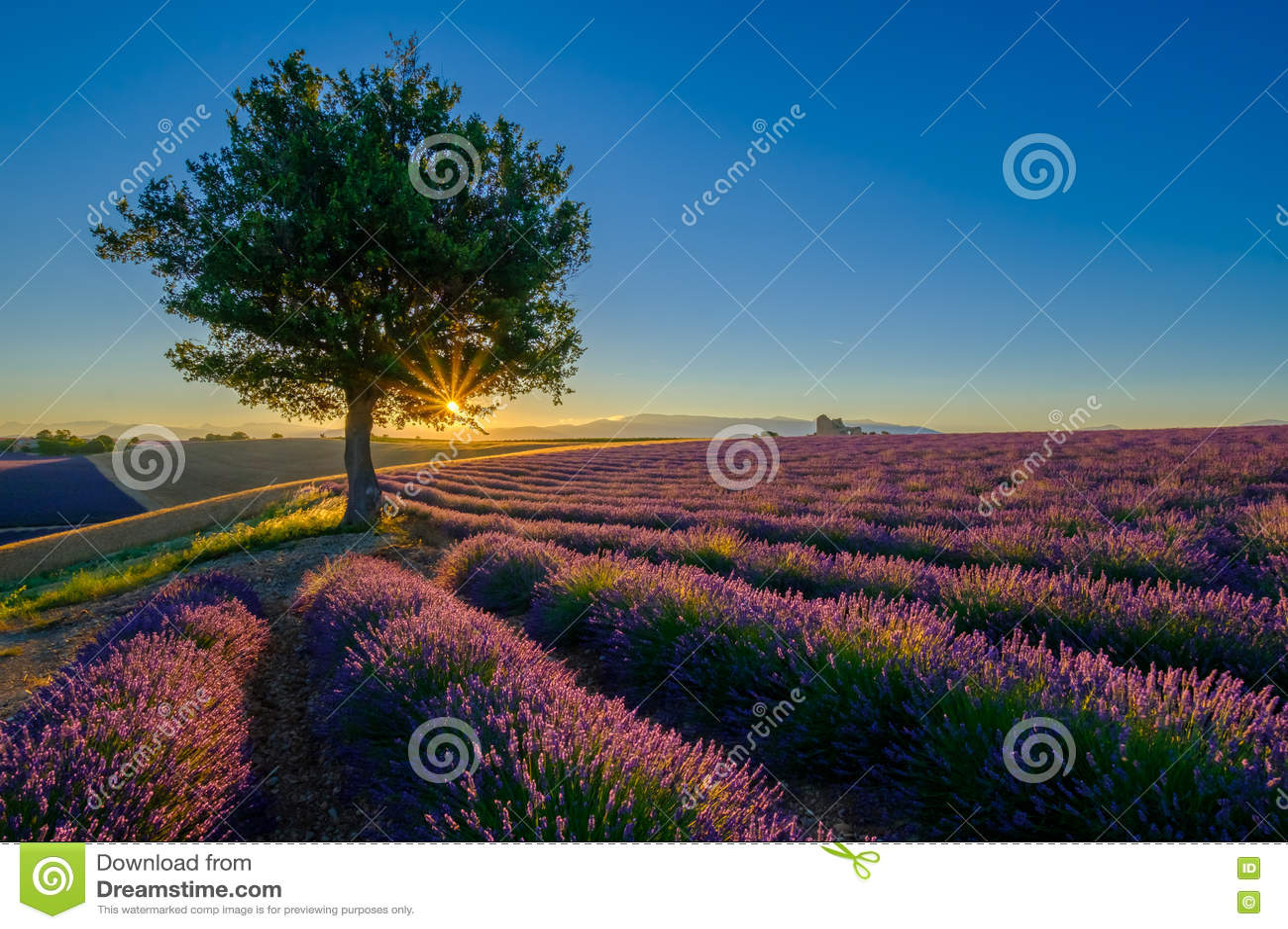 Campo da alfazema no nascer do sol em Provence
