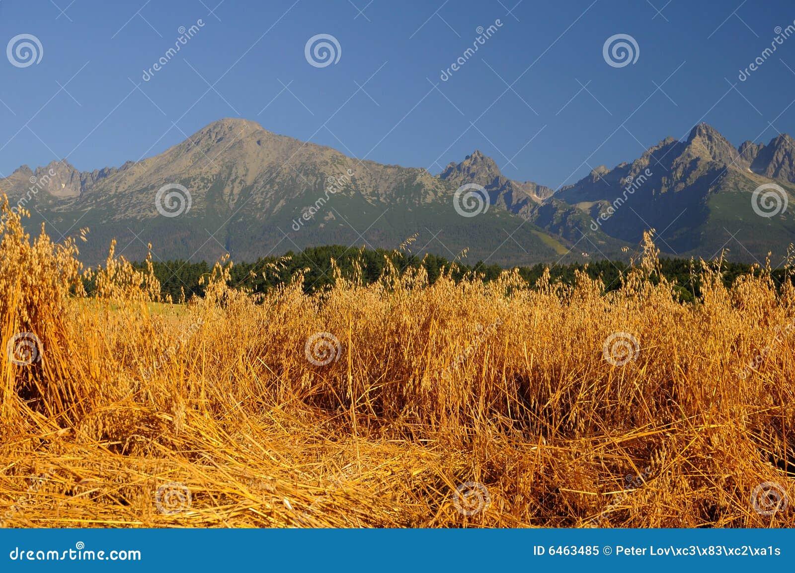 Campo da aveia sob montanhas
