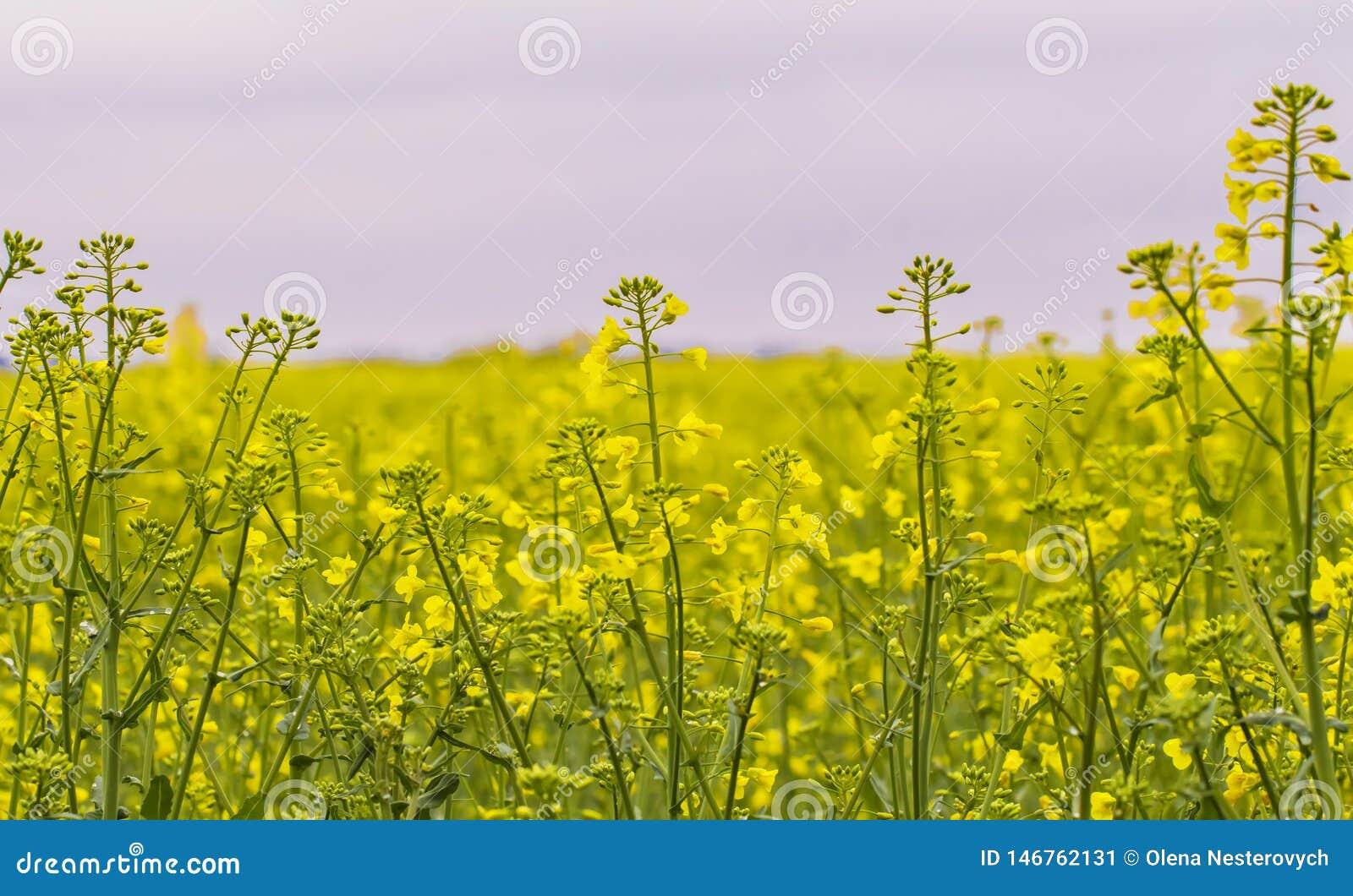 Campo da colza, flores de floresc?ncia do canola perto acima