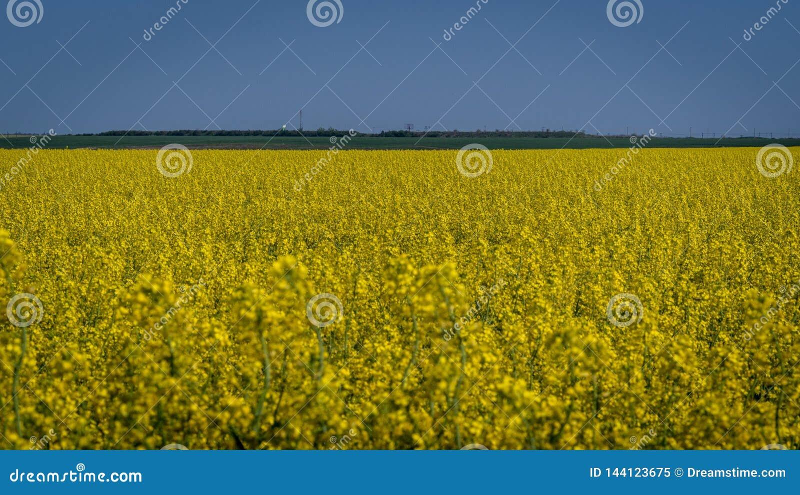 Campo da colza na flor da mola em um campo em Romênia