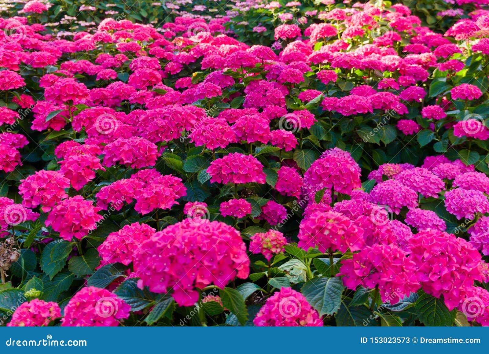 Campo da florescência cor-de-rosa das flores