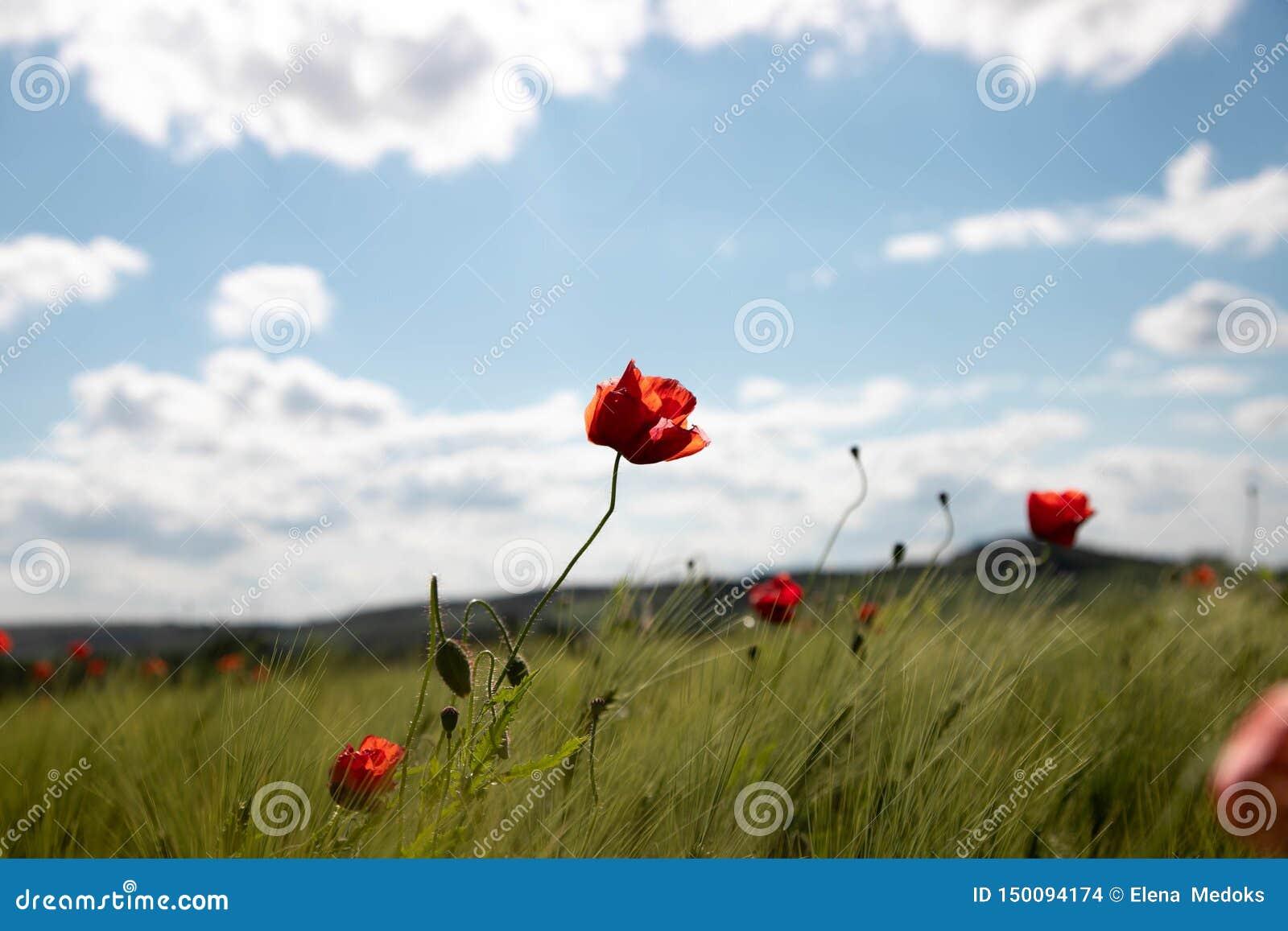 Campo da mola das orelhas do trigo com as flores da papoila na perspectiva do céu azul com nuvens brancas Campo do verde da mola
