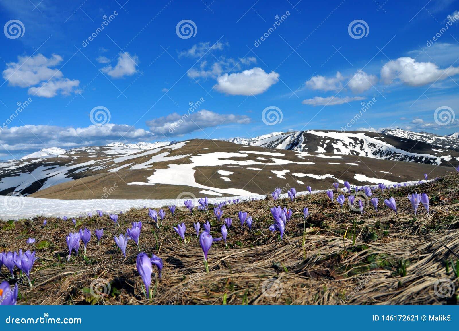Campo da mola de flores roxas do açafrão e na neve como um fundo