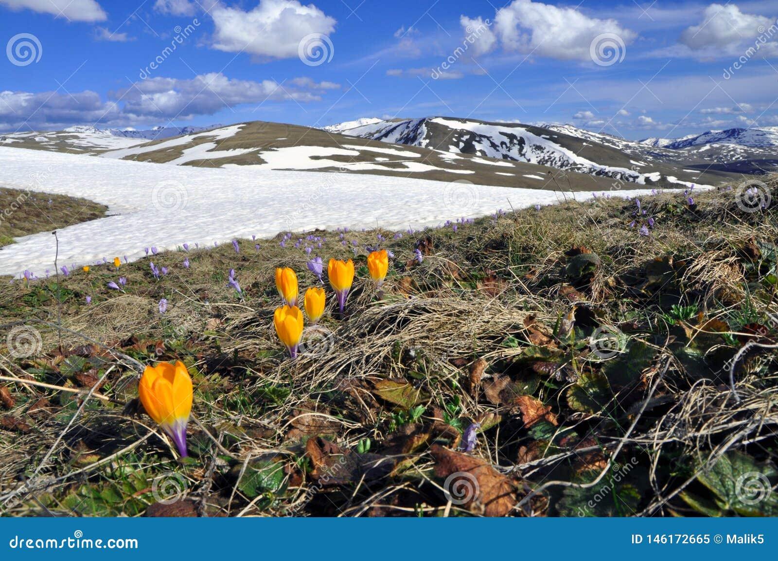 Campo da mola de flores roxas do açafrão e de um cume da montanha coberto na neve como um fundo