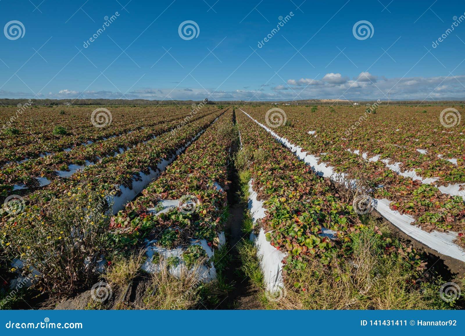 Campo da morango com bagas maduras