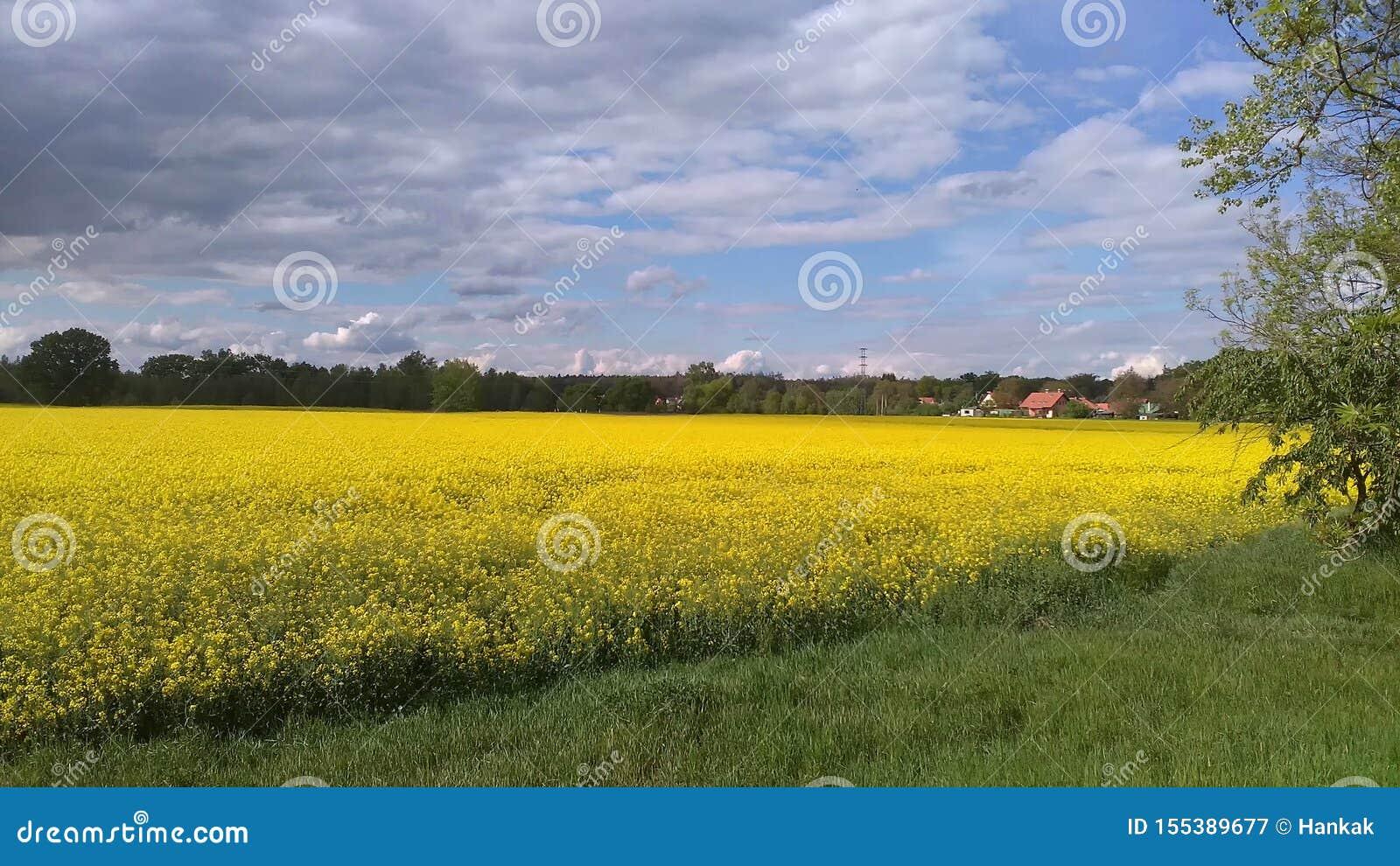 Campo da violação de semente oleaginosa