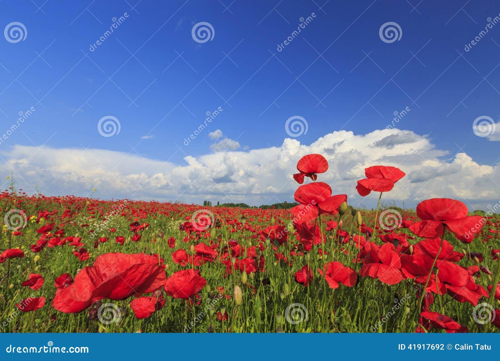 Campo de amapolas rojas salvajes