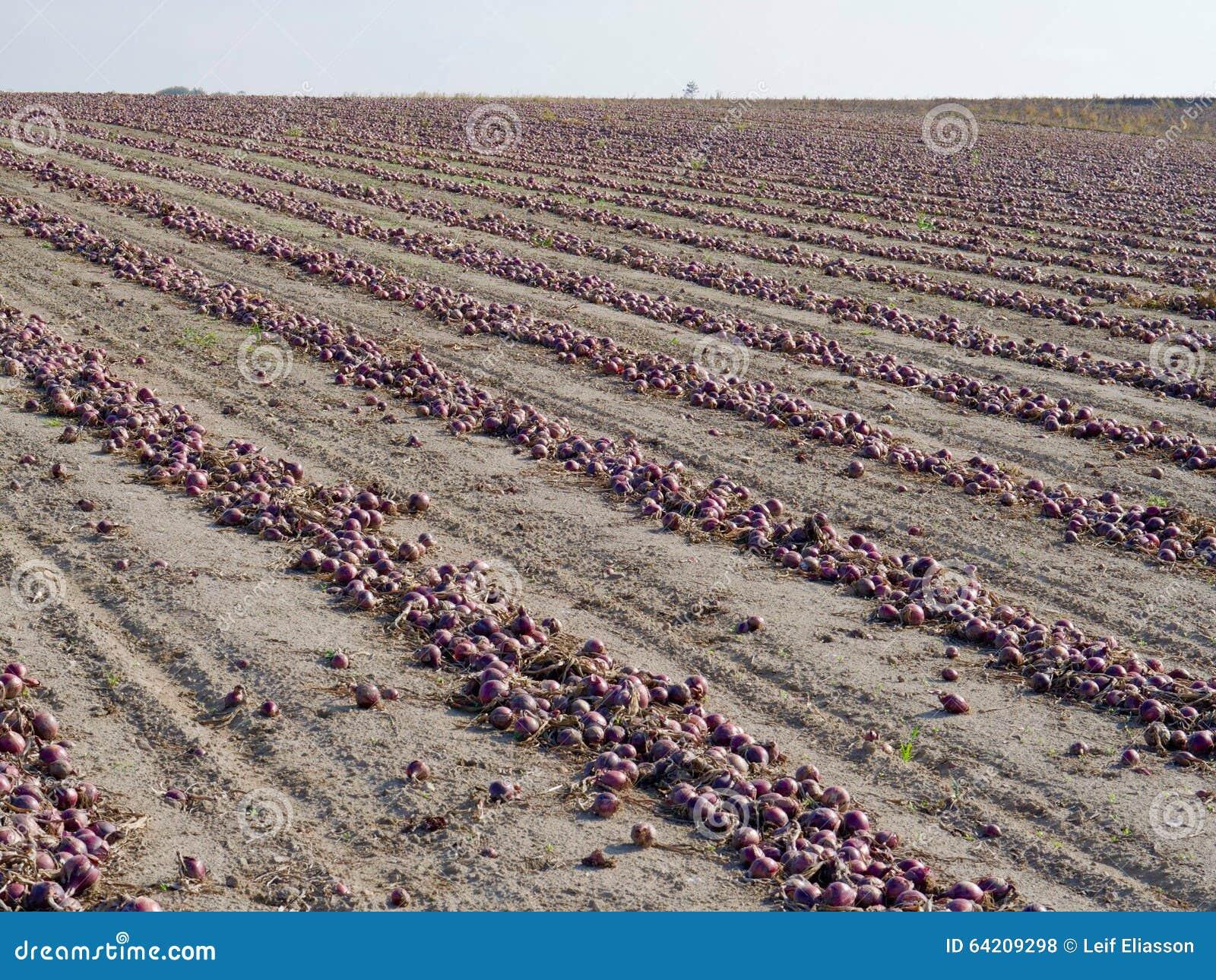 Campo de cebollas rojas