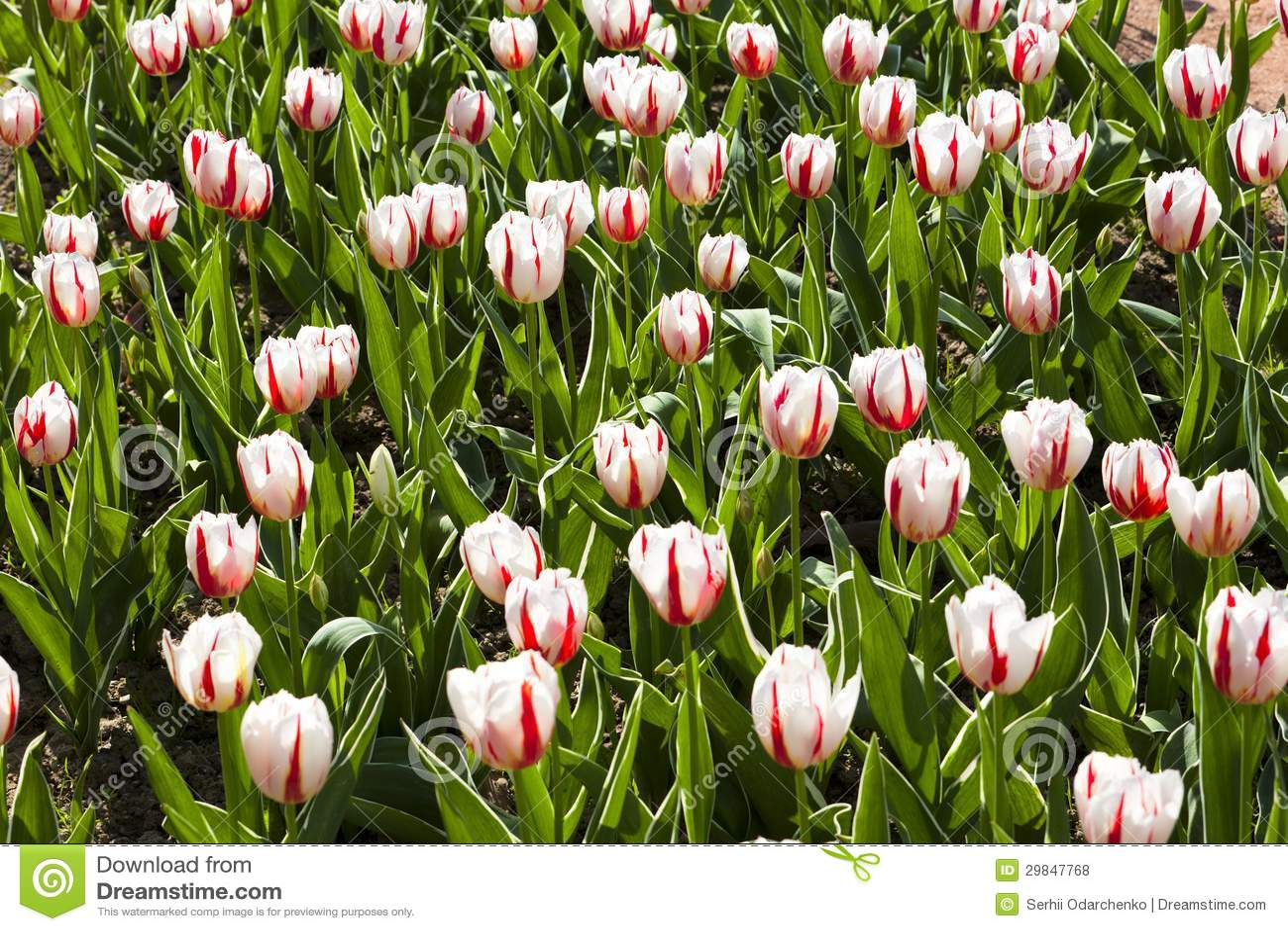 Campo de flor branco e cor-de-rosa da tulipa