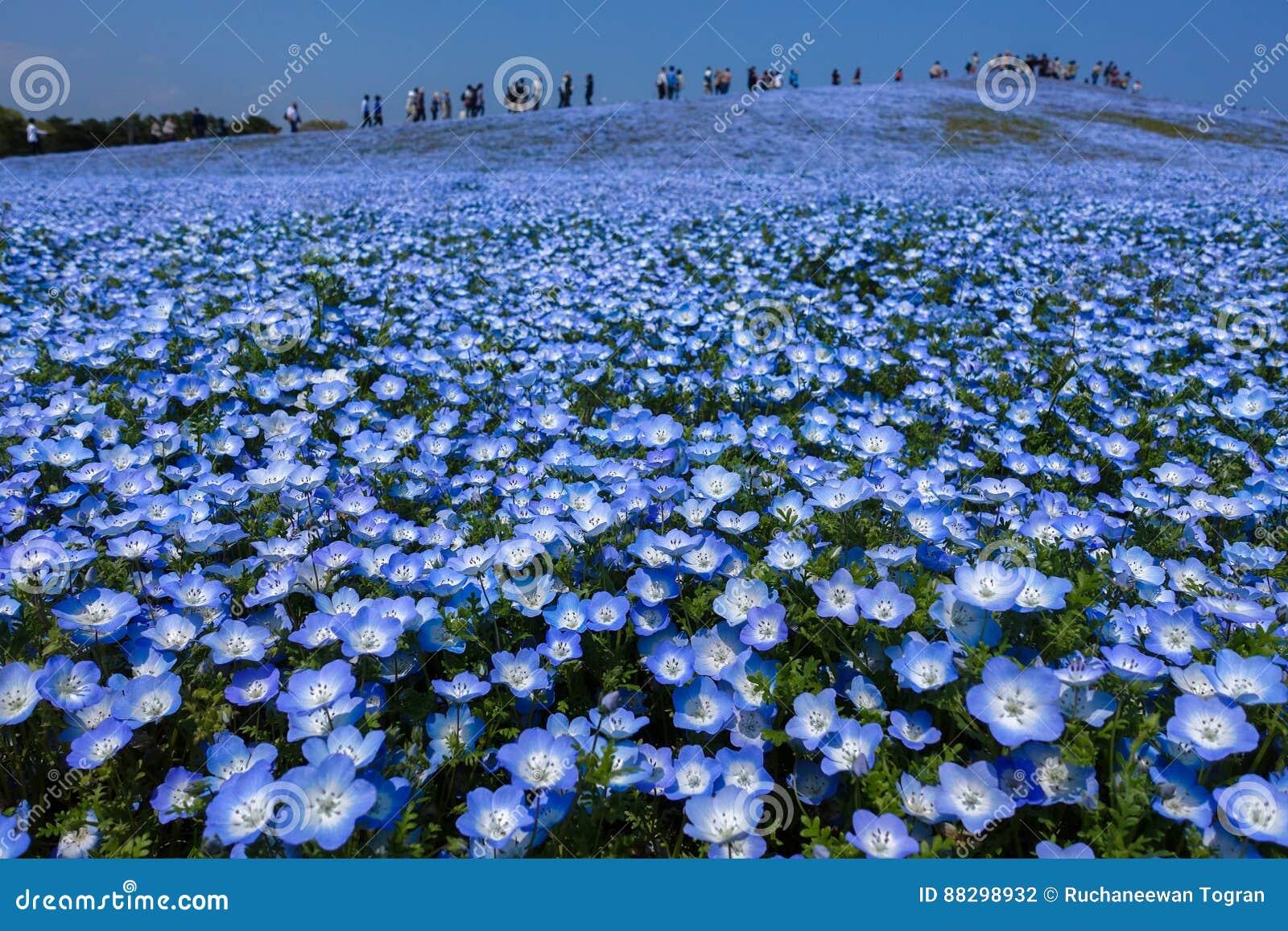 Campo de flor de Nemophila en la plena floración, Japón