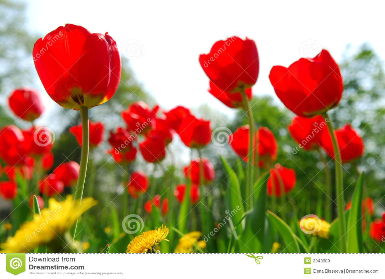 Campo de flor do Tulip