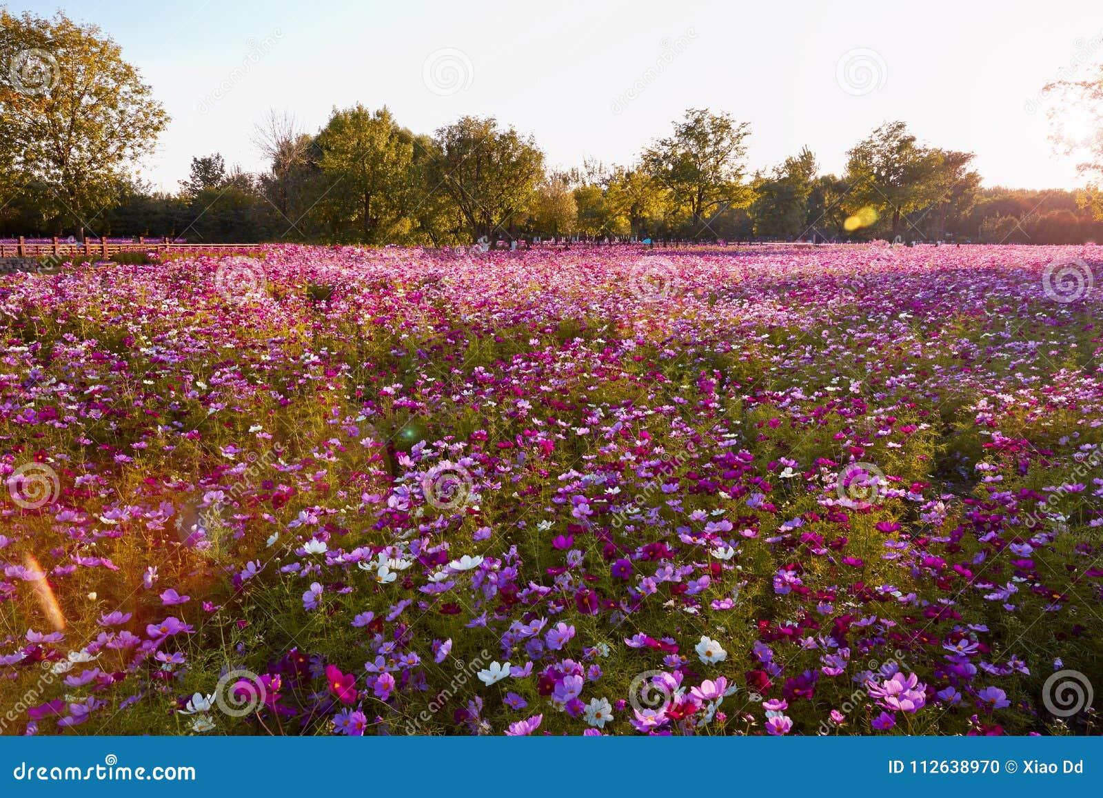 Campo de flor de Galsang no por do sol